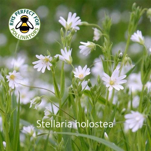 Stellaria holostea 00316