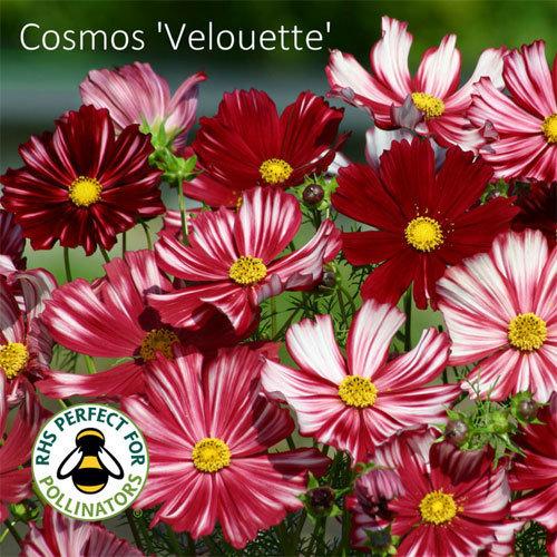 Cosmos bipinnatus Velouette 00317