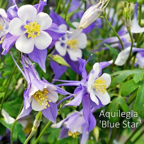 Aquilegia 'Blue Star' 00331