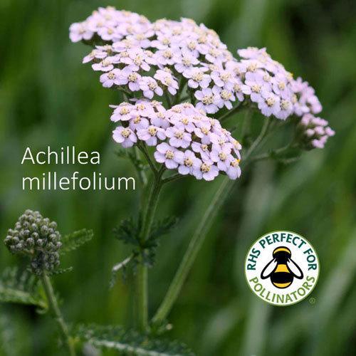 Achillea millefolium 00349