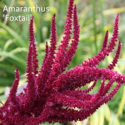 Amaranthus paniculatus 'Foxtail'