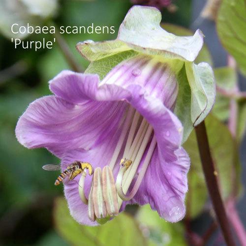 Cobaea scandens 'Purple' 00143