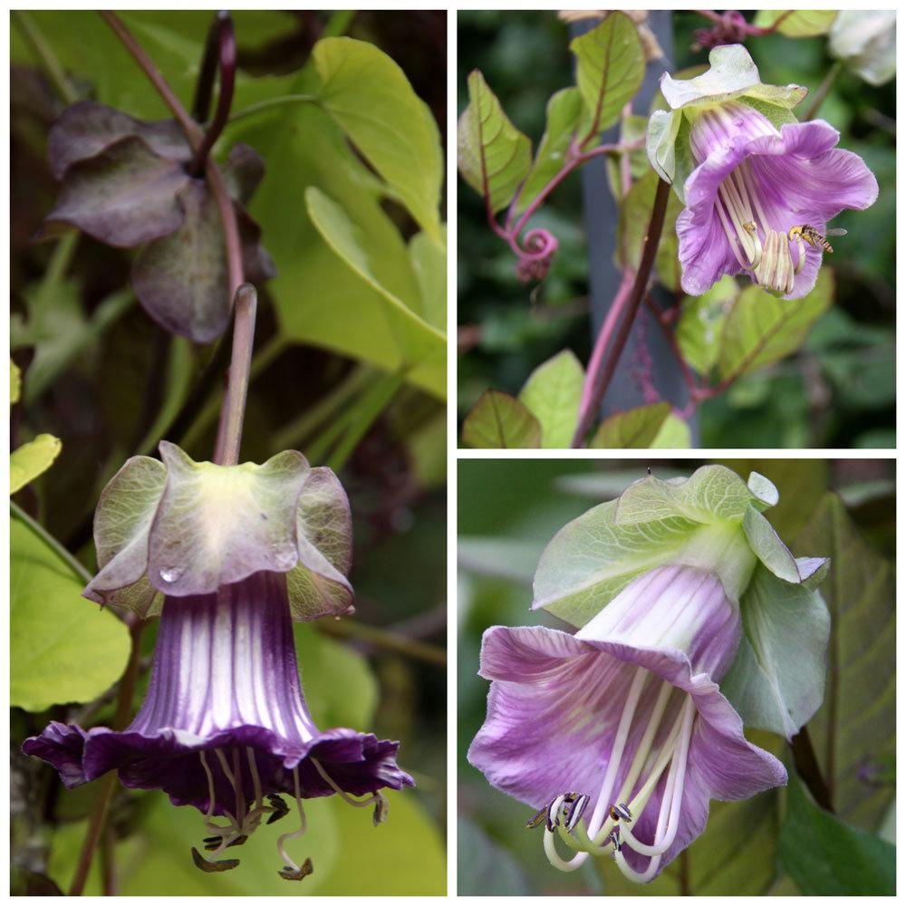 Cobaea scandens 'Purple'