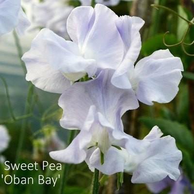 Sweet Pea 'Oban Bay'