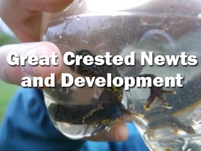 Great Crested Newts and Development (Dorset): 19th May 2020