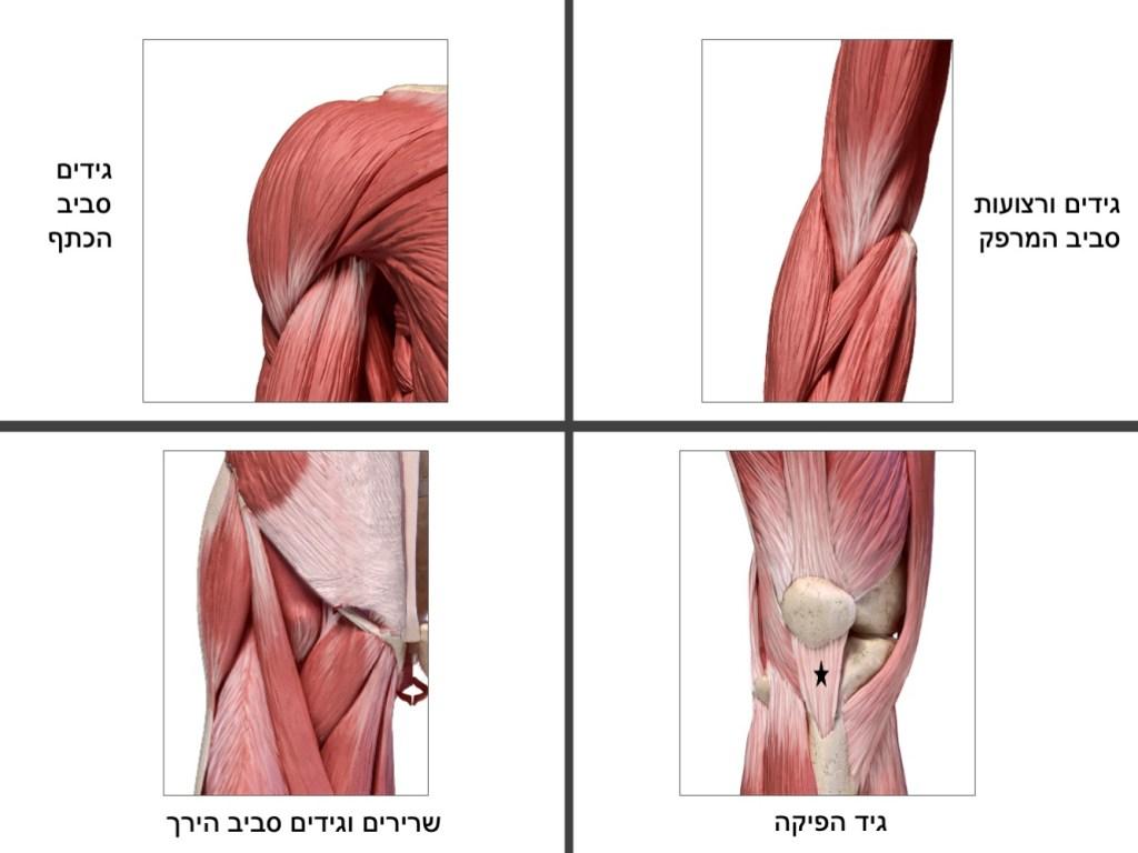גידים אנטומיה