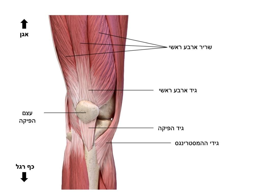 רגל אנטומיה