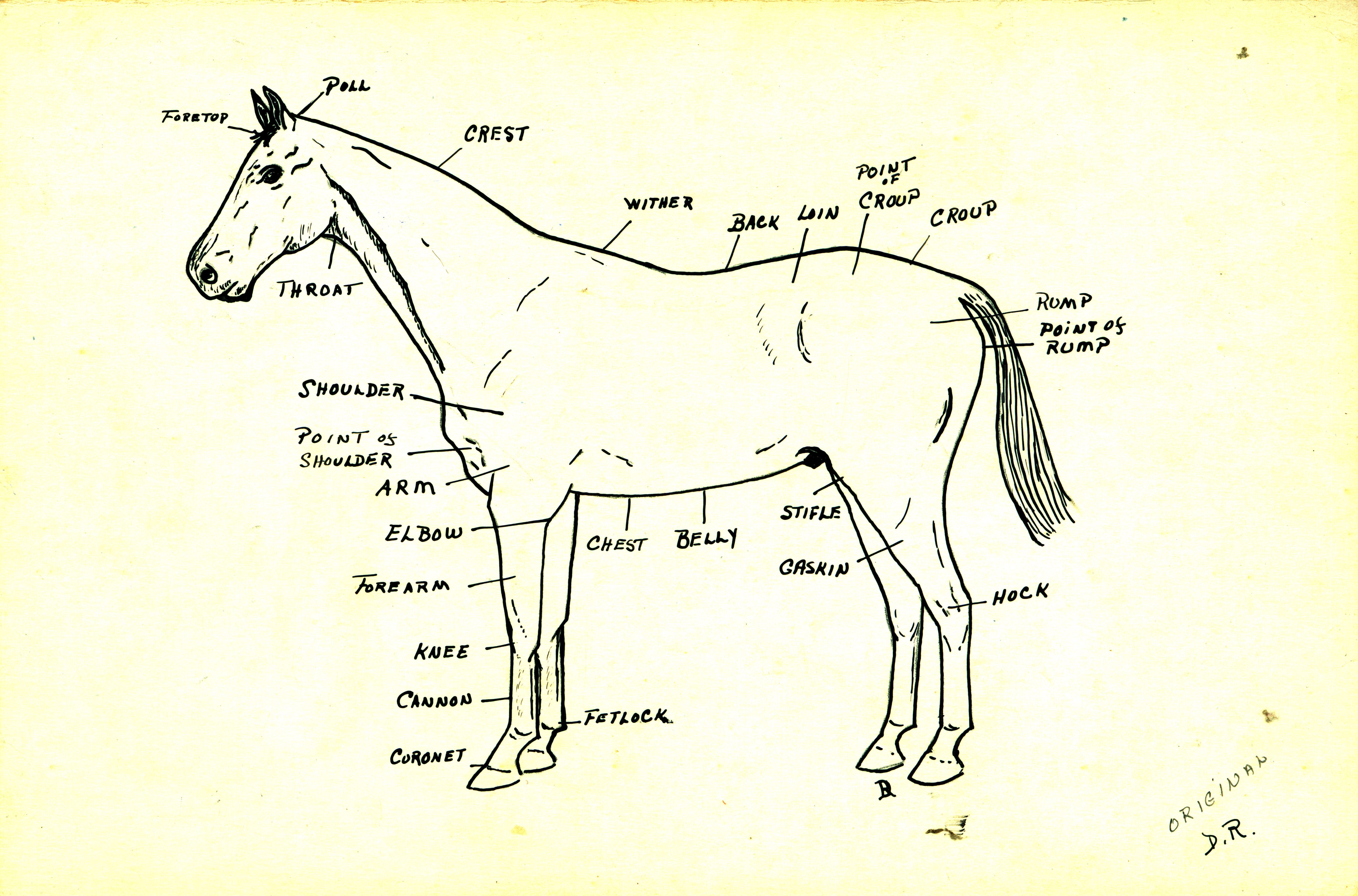 hight resolution of diagram of a horse rh dr library brocku ca horse diagram with labels dog diagram