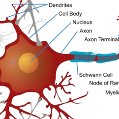 Labelled Diagram Of Nerve Cell How To Wire A 5 Channel Amp Neuron Structural And Functional Unit Neural System Ck 12 Illustration