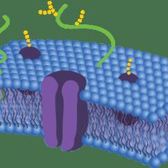 Cell Membrane Diagram Blank Vw Golf 4 Stereo Wiring Phospholipid Bilayer Read Biology Ck 12 Foundation