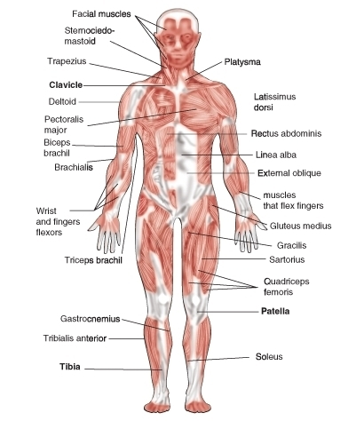 human skeleton and muscles diagram pollak trailer plugs wiring skeletal ck 12 foundation in the body