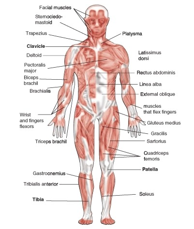 skeletal and muscular system diagram venn of reptiles amphibians muscles read biology ck 12 foundation a frontal view the major you would not see smooth cardiac included in diagrams because such