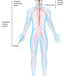 figure 1 2 your nervous system is made up of your brain spinal cord and a network of nerve fibers  [ 800 x 1049 Pixel ]