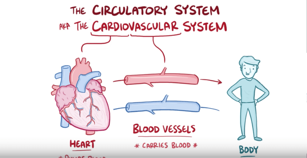 medium resolution of anatomy and physiology of the circulatory system