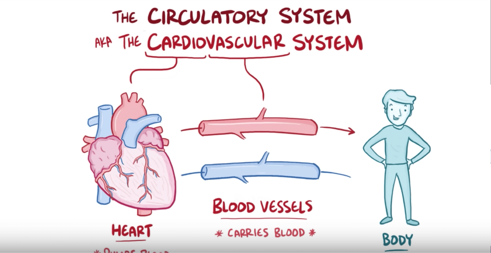 hight resolution of anatomy and physiology of the circulatory system