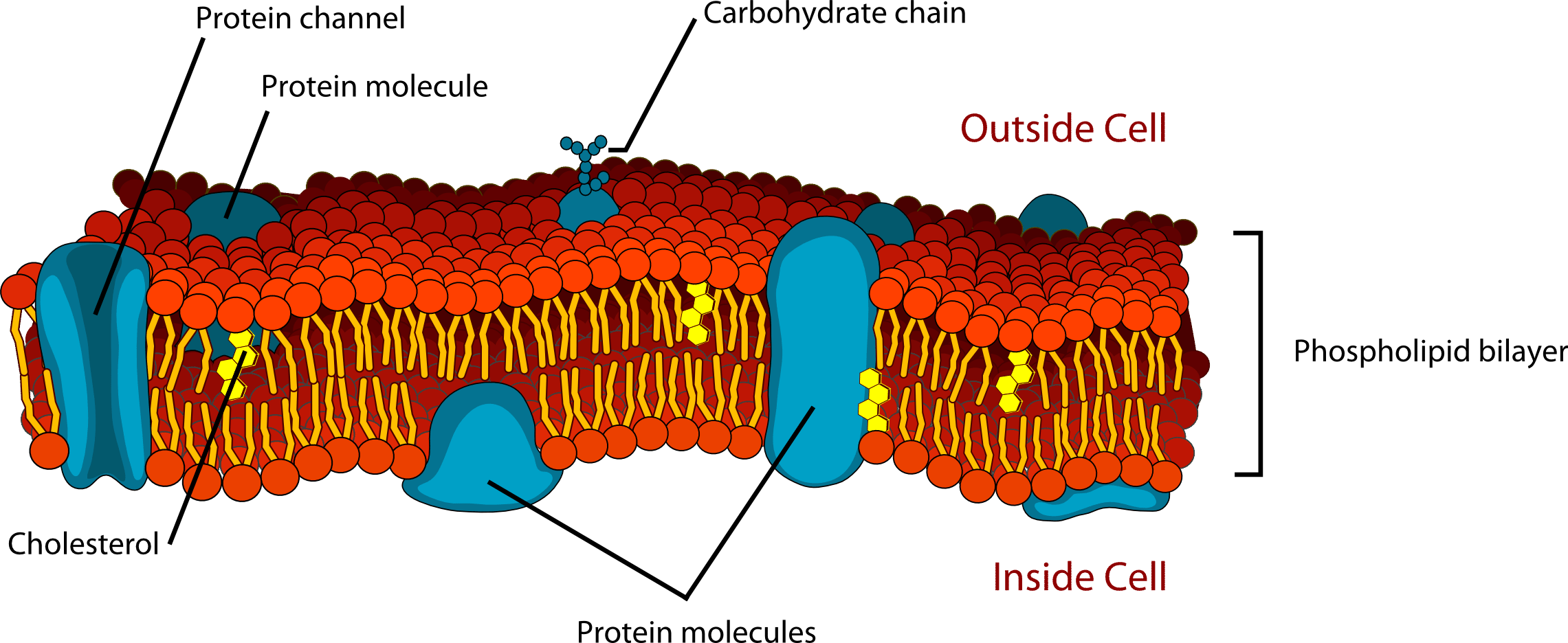 cell membrane diagram wiring kohler 27 hp 14 3 phospholipids in membranes chemistry libretexts