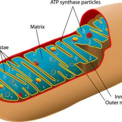 Diagram With Inputs And Outputs Of Photosynthesis Process 2001 Ford Super Duty Radio Wiring Cellular Respiration Read Biology Ck 12 Foundation The Mitochondria
