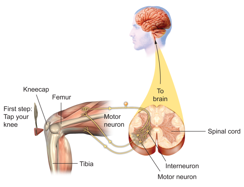 diagram of a simple reflex arc fischer tropsch process flow reflexes neurons in action ck 12 foundation