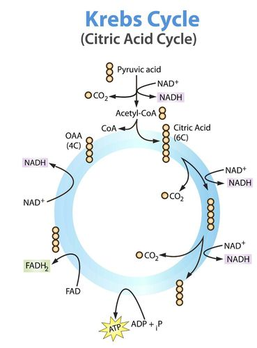 photosynthesis and cellular respiration cycle diagram bmw e92 radio wiring powering the cell ck 12 foundation stage ii krebs