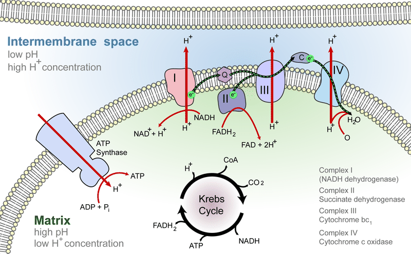 electron transport chain diagram for dummies 120 volt outlet wiring read biology ck 12 foundation chains are the last step of cellular respiration