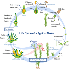 Life Cycle Of A Labeled Moss Diagram 97 Jeep Wrangler Radio Wiring Nonvascular Plants Read Biology Ck 12 Foundation
