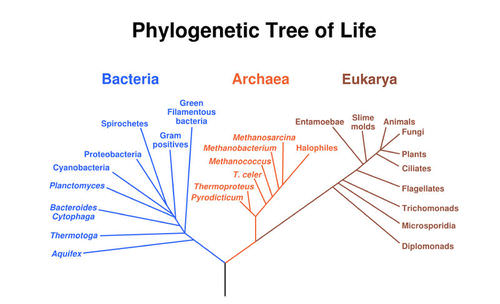 venn diagram of bacteria and archaea 1997 international 4700 starter wiring domain read biology ck 12 foundation the tree divides all organisms into three domains eukarya humans other animals belong