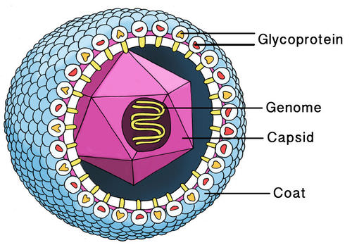 basic virus diagram isuzu alternator wiring structure read biology ck 12 foundation of a cytomegalovirus
