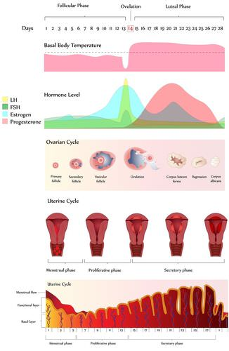 menstrual cycle diagram with ovulation single phase meter panel wiring read biology ck 12 foundation phases of the