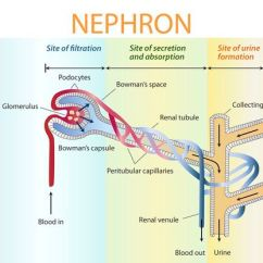 Nephron Diagram From A Textbook Possum Teeth Basic Process Of Urine Formation And Function Ck 12 In Depth