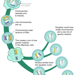 Mitosis And Meiosis Stages Diagram 2002 Chevrolet Trailblazer Radio Wiring Ck 12 Foundation A More Detailed Illustration Of The Phases