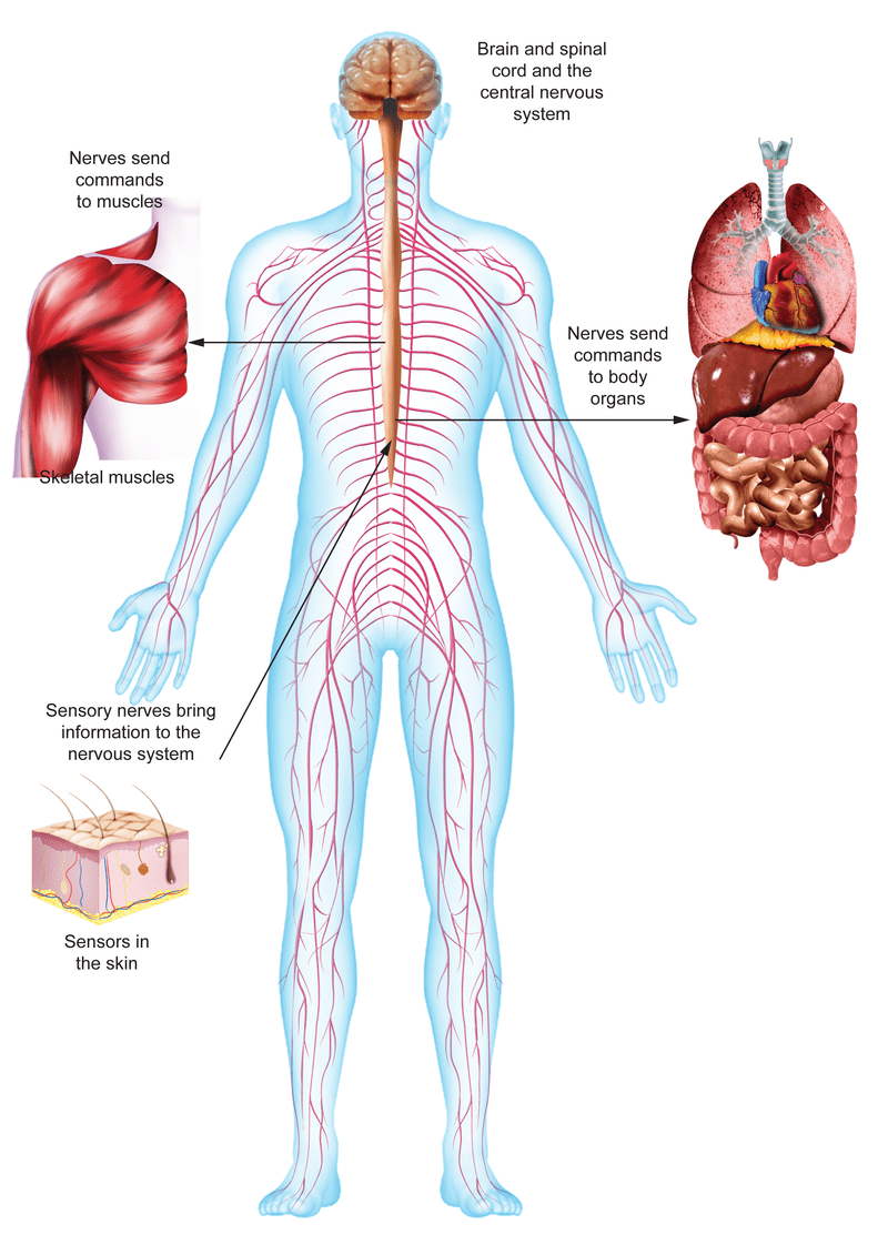 medium resolution of figure 1 4 you can control some nervous system functions such as walking or running but you re not even aware of many of your nervous system functions