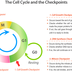 Drag The Diagram Of Stages Meiosis Bilge Pump Under Floor Bio 05 04 Cell Cycle And Checkpoints