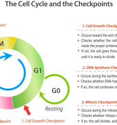 cell cycle checkpoints [ 1707 x 1114 Pixel ]