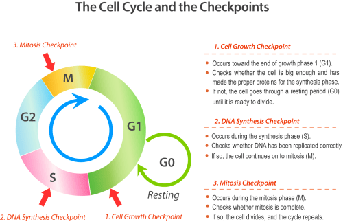 small resolution of cell cycle checkpoints