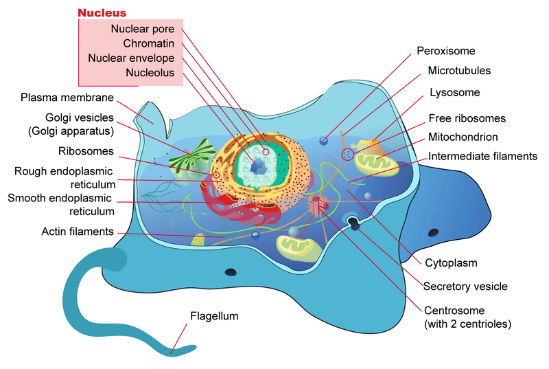 microbiology prokaryotic cell diagram labeled origami motorcycle and eukaryotic cells read biology ck 12 foundation a of the parts typical