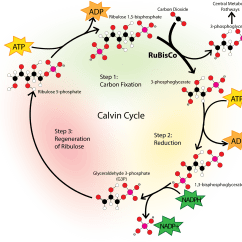 Calvin Benson Cycle Diagram Hvac Blower Motor Wiring Photosynthesis Sugar As Food Ck 12 Foundation
