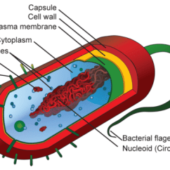 Microbiology Prokaryotic Cell Diagram Labeled 1975 Porsche 914 Wiring And Eukaryotic Cells Read Biology Ck 12 Foundation A Of Typical Its Structure