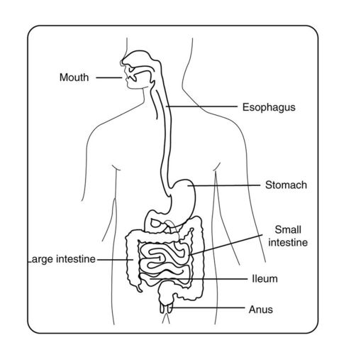 This drawing shows the major organs of the digestive