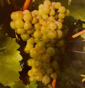 Turbiana grapes