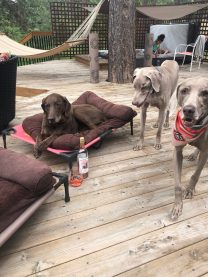 Maggie(bed), Max & Jager (bandanna) own Carolyn Beavers