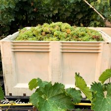grapes in bin