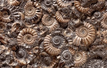 ammonite fossils; natural history museum