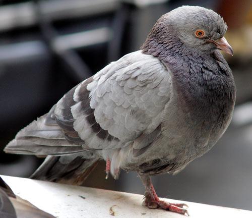 le saviez vous les pigeons savent lire les visages nuage ciel d 39 azur. Black Bedroom Furniture Sets. Home Design Ideas