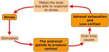 Cortisol cycle