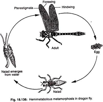 Lifecycle of DragonFlies and Why Fish Love Eating Them