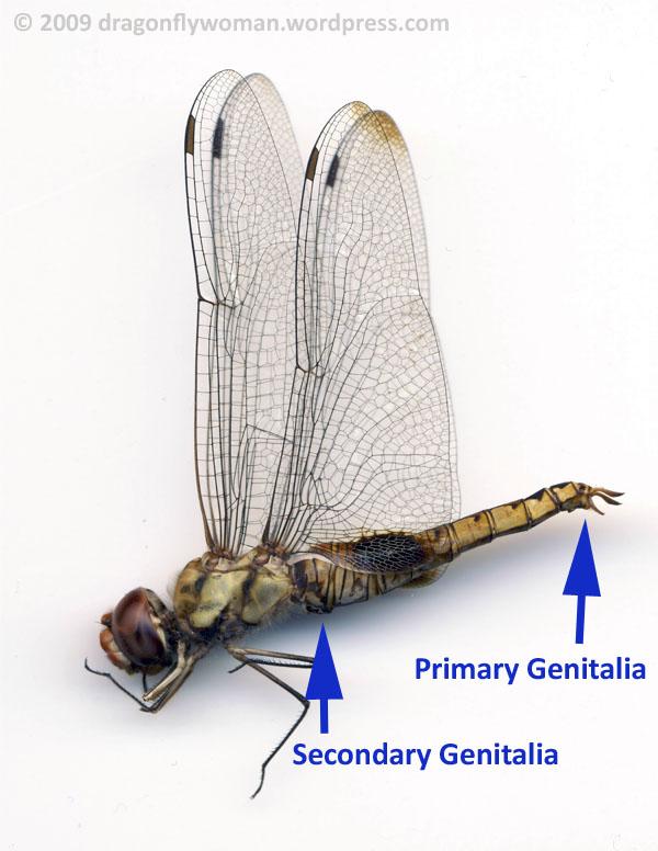 male dragonfly genitalia