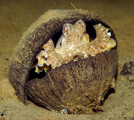 octopus in coconut