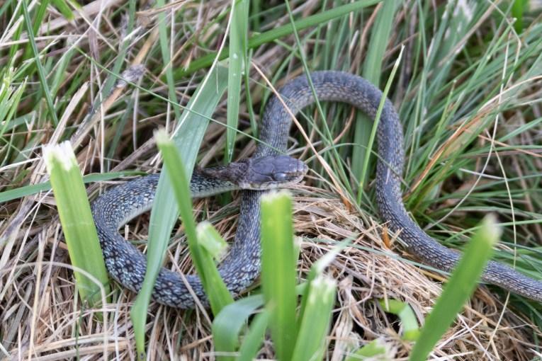 Blue Ridge Parkway Snake
