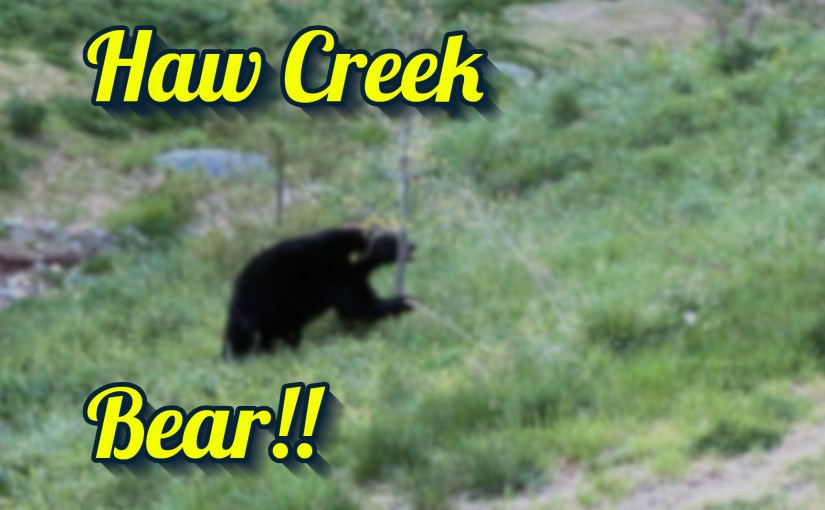 Haw Creek Bear 2
