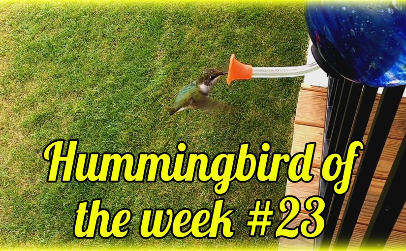 Hummingbird of the week #23
